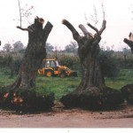 על הקשר שבין העתקת עצי-זית למושג 'עתיק יומין' המופיע בספר דניאל והקשר שלו לחכמת הקבלה