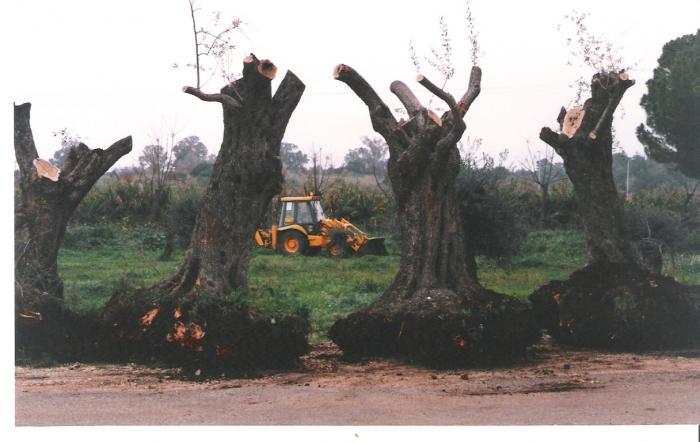 העתקת עצי זיתים לשדרת השלום מצפה הילה