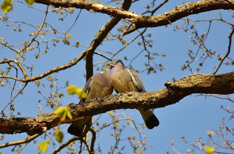 pigeons-50005_960_720